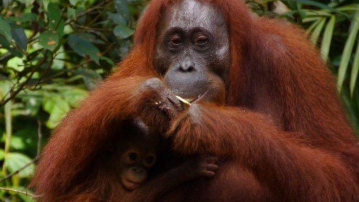 ILUSTRASI - Orangutan di Tanjung Puting, Kalimantan