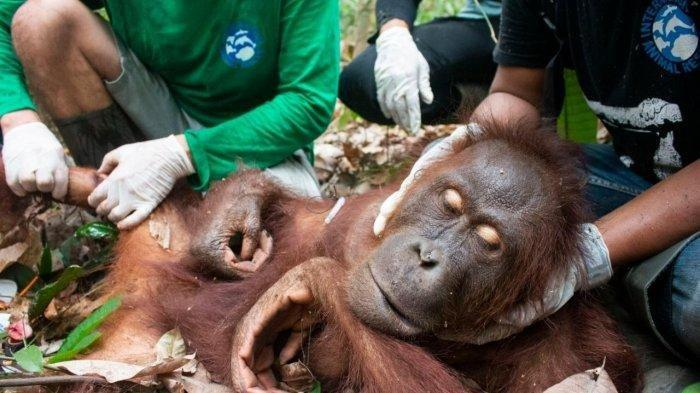 Tidak hanya manusia yang menjadi korban langsung dari karhutla, rumah dan habitat orangutan di lahan gambut juga turut terbakar di seluruh Kalimantan. Akibatnya, sejumlah orangutan menjadi korban. Kehilangan rumah bagi orangutan mengakibatkan orangutan juga kehilangan ruang gerak dan makanan. Jika orangutan tidak diselamatkan, mereka bisa mati kelaparan.