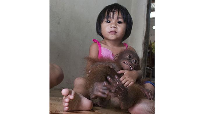 Selama Dua Tahun Keluarga Dahlan Tinggal Bersama Orangutan Joss - orangutan-joss_20160107_172434.jpg
