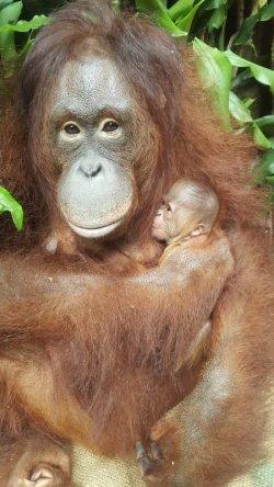 kelahiran orangutan