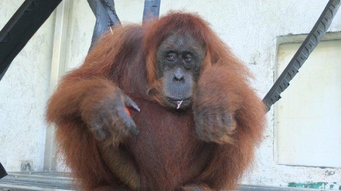 Orangutan sumatera dengan ID 411