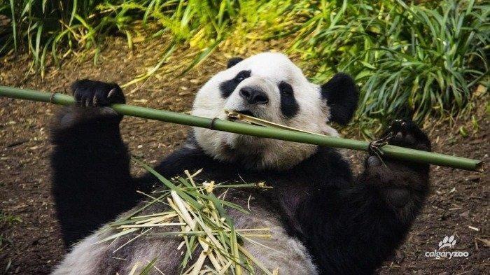 Tak Ada Pasokan Makanan, Kebun Binatang di Kanada Ini Kembalikan 2 Panda ke China