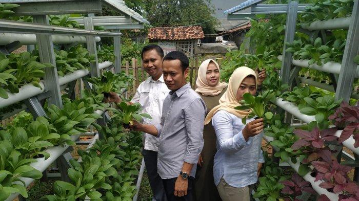 Kegiatan panen sayuran dari kebun hidroponik program CSR Hankook Tire di Desa Cicau, CIkarang Pusat, Bekasi, Sabtu (22/2/2020).