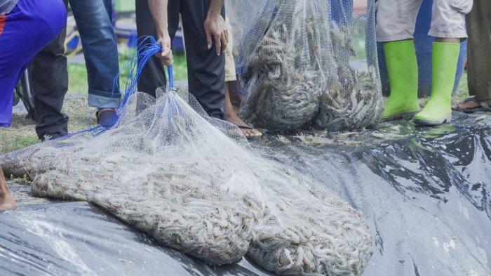 Tambak Udang Gagasan KKP Panen Perdana 30 Ton dengan Kualitas Ekspor