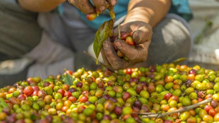 Ironis, Indonesia Jadi Jadi Raksasa Kopi Tapi Tak Bisa Kendalikan Harga di Pasar Dunia