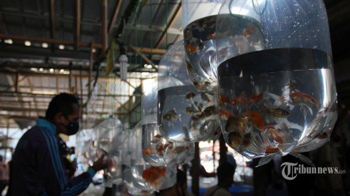 Menilik Kisah Pedagang Ikan Hias di Bogor, Meraih Cuan & Go Digital
