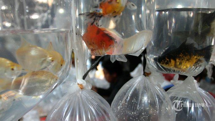 Pengiriman Ikan Hias Naik Hingga 15 Persen, Tiki Beri Promo Bebas Biaya Tambahan 50 Persen