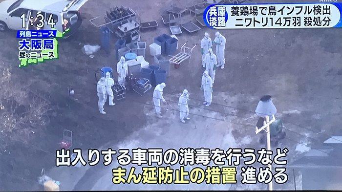 Virus Flu Burung, Pemerintah Chiba Jepang Terpaksa 'Bunuh' 1,15 Juta Ekor Ayam