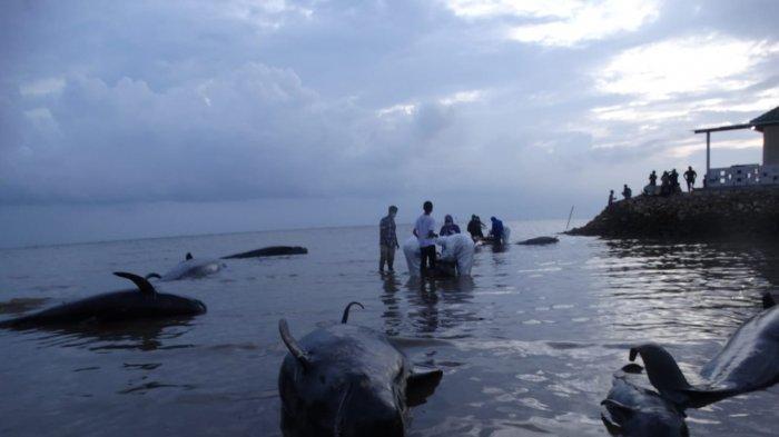 Gandeng Pakar, KKP Dalami Penyebab Mamalia Laut Terdampar Massal di Indonesia