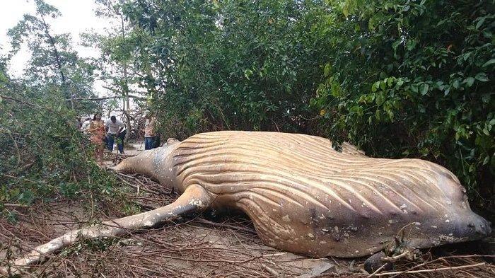 Seekor Paus Secara Misterius di Hutan Amazon, Begini Penjelasan Peneliti