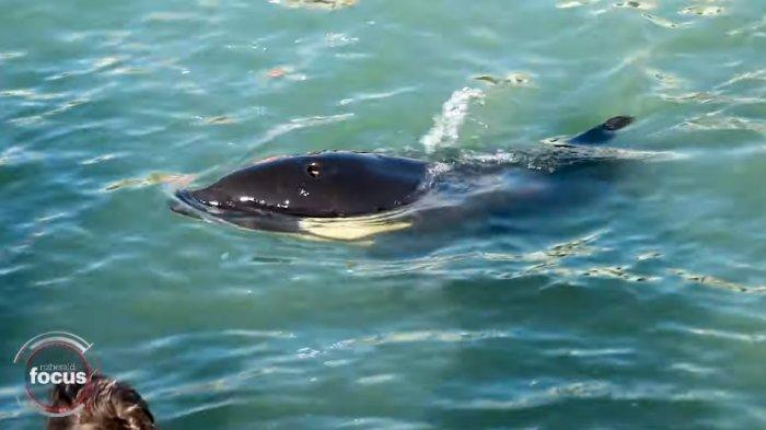 Bayi Orca yang Terdampar di Selandia Baru Meninggal, di Tengah Pencarian Induknya yang Terpisah