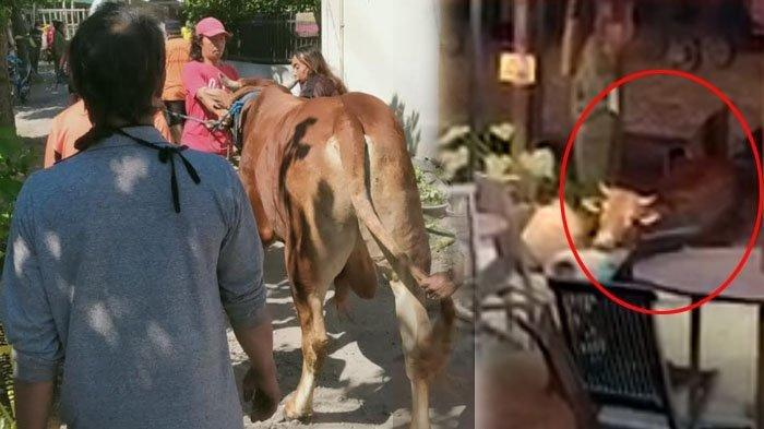 Sapi hewan kurban yang lepas masuk Rumah Makan Kayu Manis dituntun pawang sapi, Sabtu (1/8/2020).