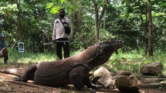 Berburu Komodo, Si Kadal Raksasa yang Pintar Berkamuflase di Labuan Bajo