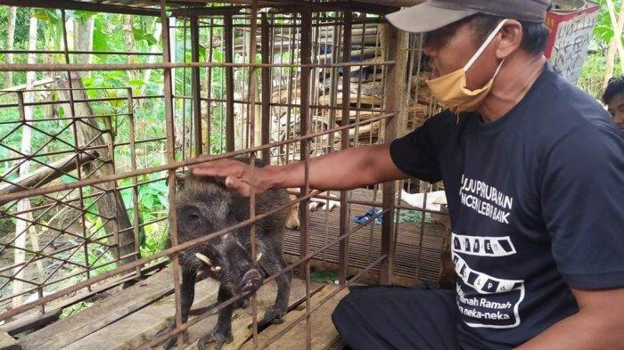 Pemilik babi hutan dengan kelainan fisik, Bawor saat memegang babi miliknya, Senin (15/6/2020).