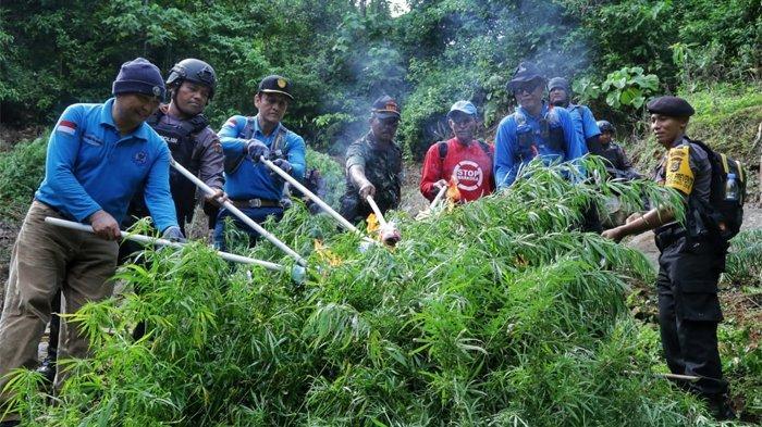 Tim BNN Babat Habis 40.000 Batang Ganja di Lahan Seluas 2 Hektar Kawasan Aceh Selatan