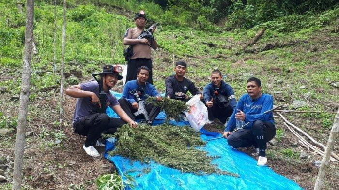 Petugas Musnahkan 5 Hektare Ladang Ganja di Mandailing Natal