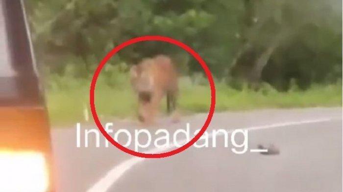 Viral Harimau Sumatera Turun ke Jalan, Terekam Berjalan Santai, Beberapa Kendaraan Sampai Berhenti