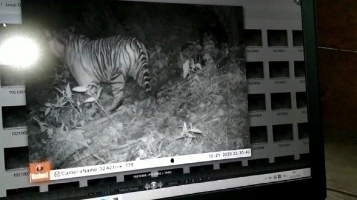 Screnshoot penampakan Harimau Sumatera (Phantera Tigris Sumatrae) yang terekam Kamera jebakan atau camera trap Balai Konservasi Sumber Daya Alam (BKSDA) wilayah II Subulussalam, Sabtu (21/11/2020) di Desa Lae Motong, Kecamatan Penanggalan, Subulussalam.
