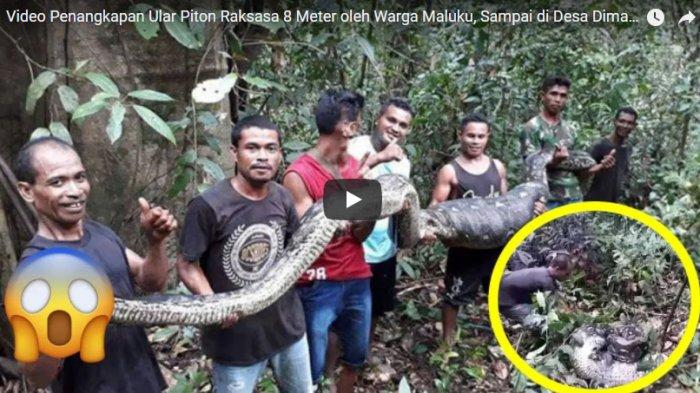 Warga Selfie Usai Hantam Kepala Ular Piton di Kebun Kakao Maluku