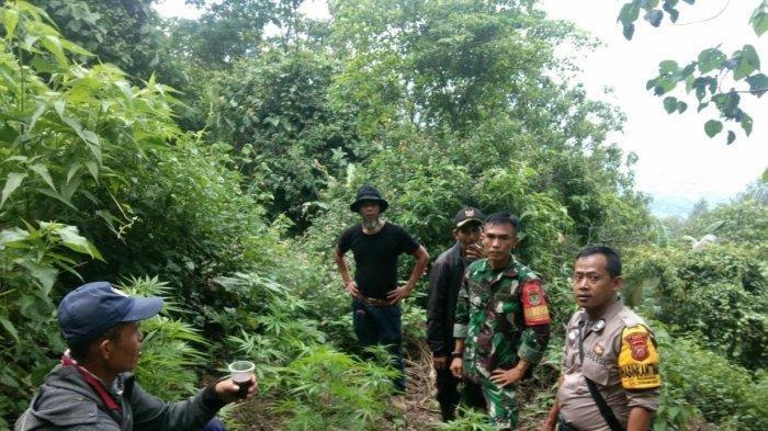 Penemuan ladang tanaman ganja di Gunung Guntur, Kecamatan Tarogong Kaler, Kabupaten Garut, sudah dilaporkan warga kepada petugas sejak Rabu (15/1/2020).