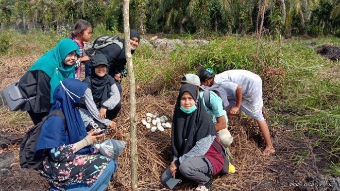 53 Butir Telur Buaya Ditemukan di Lahan Kebun Sawit Kawasan Agam, Warga Dilarang Mendekati Lokasi