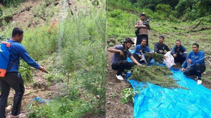 Polisi Ungkap Ladang Ganja Seluas 5 Hektar di Pegunungan Tor Simantawa, Bakar Sebagian Ganja di TKP. Tim gabungan Direktorat narkoba Polda Sumut bersama dengan Polres Madina saat mengungkap ladang ganja seluas 5 hektar yang berada di pegunungan Tor Simantawa.