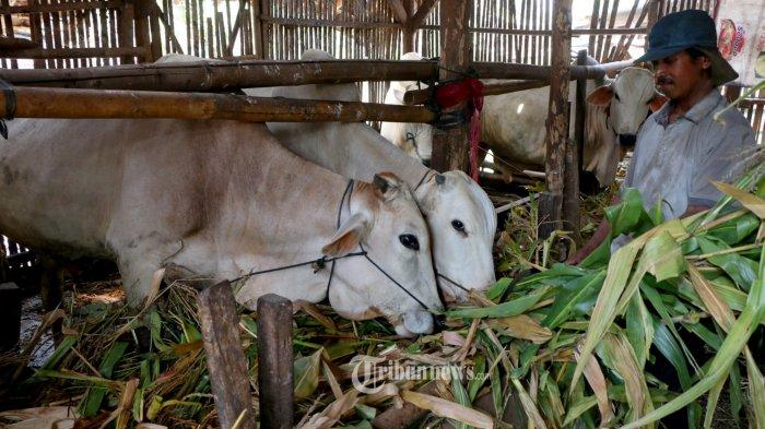Hewan Kurban - Seorang anggota Kelompok Tani Majumakmur di Kelurahan Bulusan, Kecamatan Tembalang sedang memberi makan sapi yang akan dijual sebagai hewan kurban, Jumat (10/7/20). Dinas Peternakan Jawa Tengah menghimbau agar masyarakat untuk melakukan pemotongan hewan kurban di Rumah Pemotongan Hewan (RPH) yang berjumlah 79 RPH. Disamping itu agar masyarakat mendapatkan kepastian tentang kualitas kesehatan hewan kurban. Hewan kurban wajib menggunakan surat keterangan kesehatan hewan (SKKH) serta diberikan obat cacing hati. Hingga saat ini jumlah populasi ternak sapi di Jawa Tengah mencapai 1,9 juta ekor. Sementara untuk kambing dan domba mencapai lebih dari 5 juta ekor.