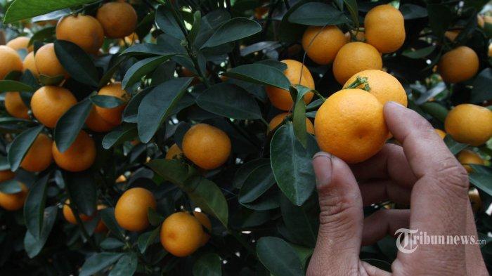 Pedagang membenahi pohon dan buah jeruk jenis kumquat dan chusa yang diimpor dari Tiongkok di kawasan Senayan, Jakarta, Jumat (29/1/2016). Pohon jeruk yang dipercaya warga keturunan Tionghoa dapat membawa keberuntungan saat perayaan Imlek tersebut dijual dengan kisaran harga Rp750 ribu sampai Rp2 juta. TRIBUNNEWS/IRWAN RISMAWAN