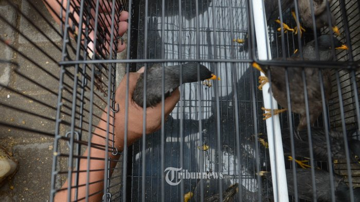 Burung Jalak Kerbau Yang Dilepas Kebun Binatang Bandung Dipasangi Ring Ini Alasannya Tribunnews Com Mobile