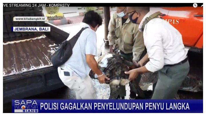 Ibu Rumah Tangga Diduga Selundupkan 4 Ekor Penyu di Jembrana Bali
