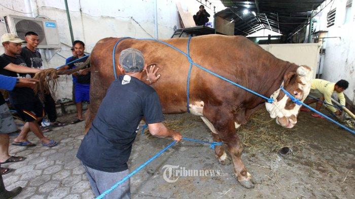 Sejumlah panitia kurban berusaha merobohkan sapi limosin untuk disembelih pada Iduladha 1440 H di halaman belakang Masjid Raya Bandung Provinsi Jawa Barat, Kota Bandung, Minggu (11/8/2019). Sapi dengan bobot hampir 1 ton tersebut merupakan hewan kurban bantuan dari Presiden Jokowi. Sementara titipan hewan kurban yang disembelih di Masjid Raya Bandung berjumlah 24 ekor, terdiri dari 10 ekor sapi dan 14 ekor domba. (TRIBUN JABAR/GANI KURNIAWAN)