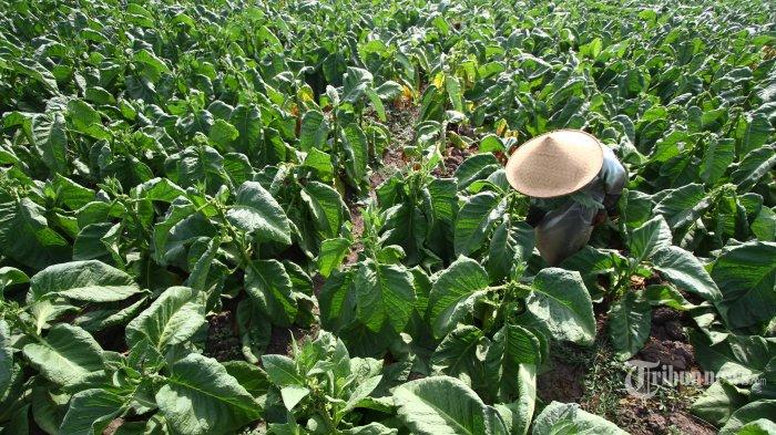 Petani Tembakau Jombang Tuntut Asuransi Seperti Padi