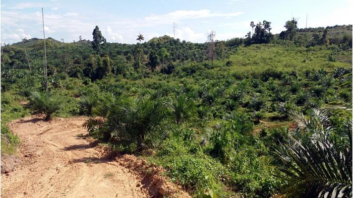 Kebun Kelapa Sawit Papua
