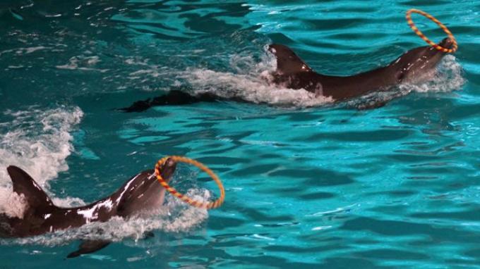 Sepasang Lumba-lumba Terperangkap Jaring Nelayan, Begini Nasibnya Sekarang