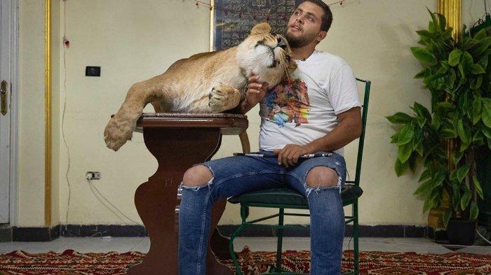 Pertunjukan Sirkus Ditiadakan selama Masa Pandemi Corona, Seorang Pemain Bawa Singa ke Rumahnya
