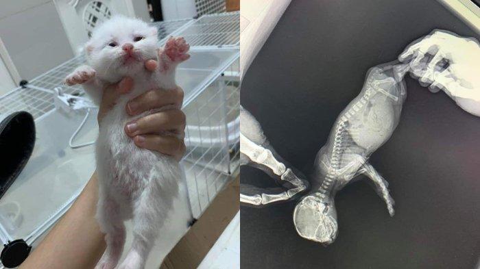 Perut Kucing Ini Membuncit Tiba-tiba, Dikira Sakit Sampai Dibawa ke Dokter, Hasil X-Raynya Konyol
