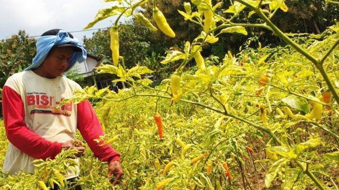 Petani cabai warga Desa Pucuk, Kecamatan Dawarblandong, Kabupaten Mojokerto, Jawa Timur, bisa membelikan sebuah mobil Avanza Rp 145 juta, karena lonjakan harga jual cabai panenannya.