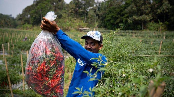 Petani cabe, mitra TaniHub di Jawa Barat.