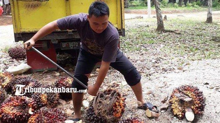 Petani Sawit di Inhu Menjerit, Harga Tandan Buah Segar Anjlok Hingga Rp 600 Per Kg