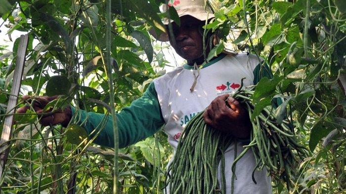 Petani memanen kacang panjang