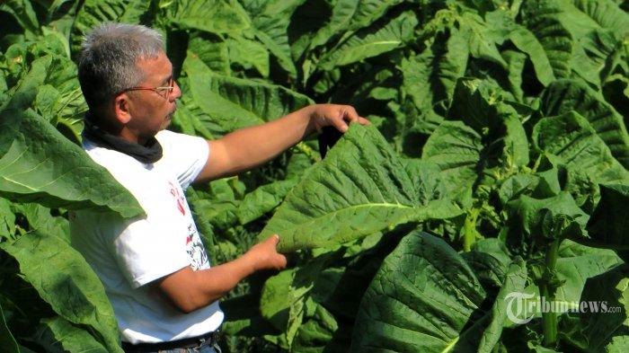Cukai Hasil Tembakau Naik, Bagaimana Nasib Petani dan Tenaga Kerja?