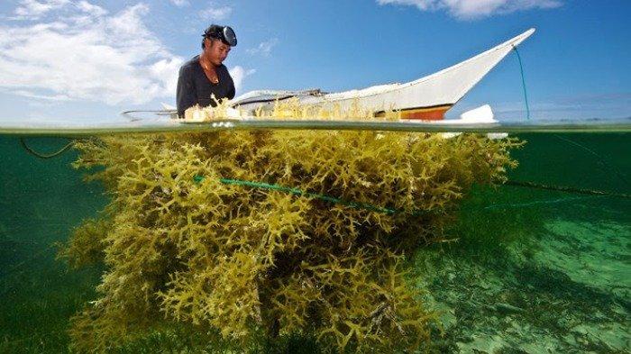 KKP: Komoditas Rumput Laut Bisa Atasi Persoalan Artati Widiarti Dunia