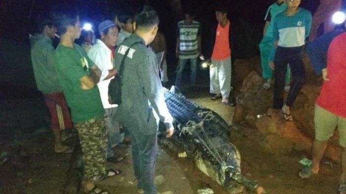 Petugas BKSDA Bangka Belitung kesulitan melakukan evakuasi buaya hampir sepanjang 5 meter karena mobil BKSDA tidak muat untuk sang predator, Jumat (3/1/2020) malam.