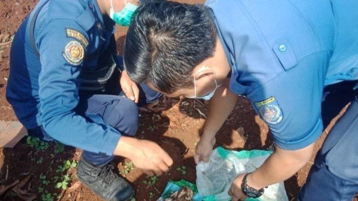 2 Induk Ular Kobra Jawa dan 20 Telurnya Ditemukan di Dekat Pemukiman Warga di Depok