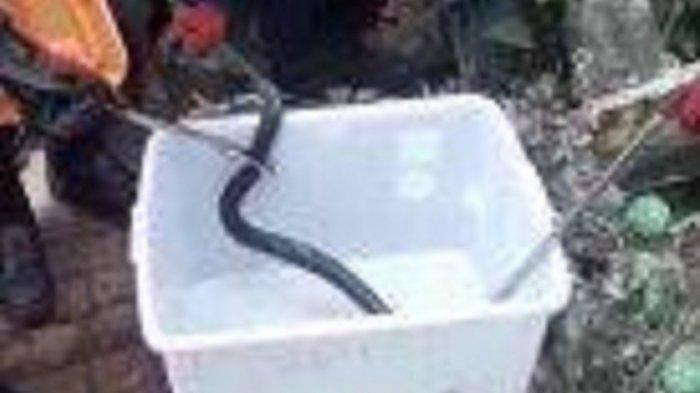 Petugas Damkar Kota Tangsel sedang mengevakuasi seekor ular kobra
