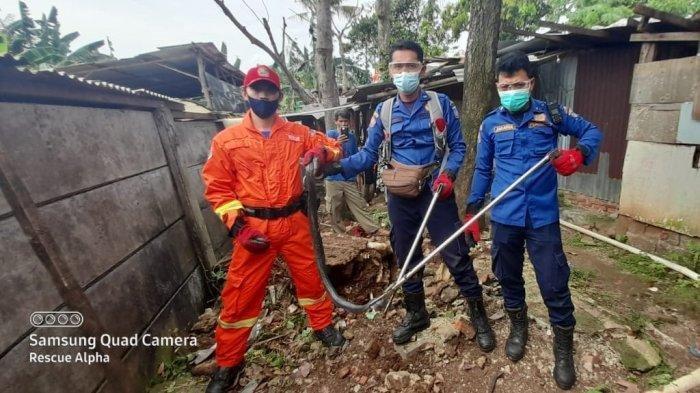 Induk Ular Kobra Berukuran Jumbo Ditemukan Hendak Bertelur di Permukiman Warga di Ciputat