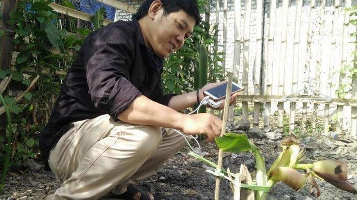 Ini pohon pisang milik Masroin yang jadi pusat perhatian masyarakat, Sabtu (8/8/2020)