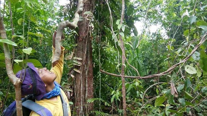 Kepala Tim Patroli Bagian Kesatuan Pengelolaan Hutan (BKPH) Singkil Wilayah Kuala Baru, Admi mencoba meminum tetesan air kayu bajakah di hutan rawa Singkil, kawasan Kuala Baru, Aceh Singkil, Selasa (20/8/2019). SERAMBI/DEDE ROSADI