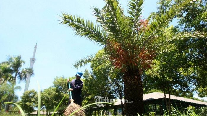 Pohon Angsana di Cikini Ditebang, DPRD DKI Fraksi PDIP Usul Diganti Pohon Kurma
