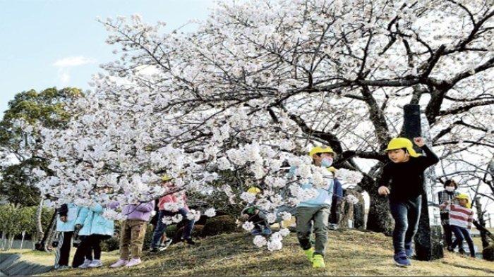 Obizakura di Shizuoka Jepang Mekar Lebih Awal di Balai Kota Shimada